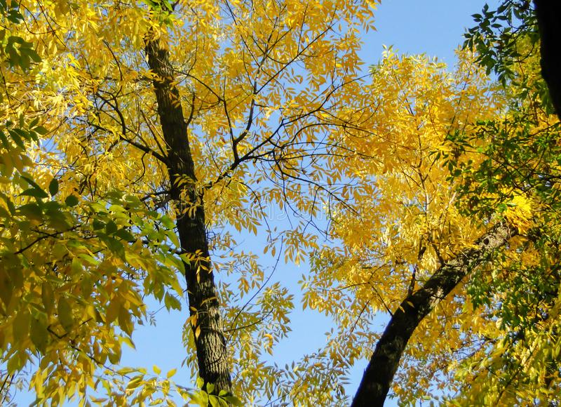 Beautiful autumn trees with yellow leaves in the city park stock image