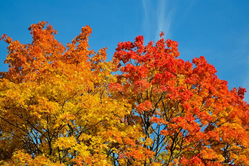 Beautiful autumn view. Maple red, yellow, green colors of leaves against a blue sky. Warm autumn day. stock images