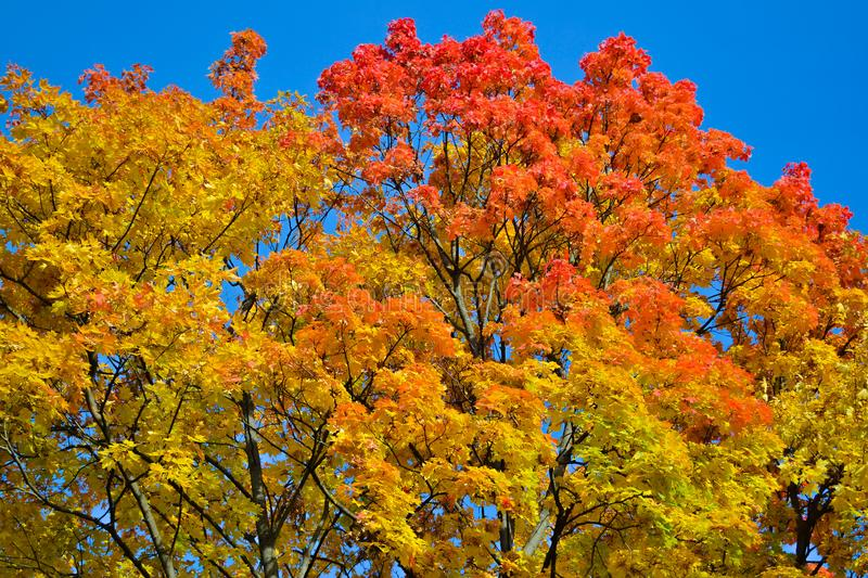 Beautiful autumn view. Maple red, yellow, green colors of leaves against a blue sky. Warm autumn day. royalty free stock image