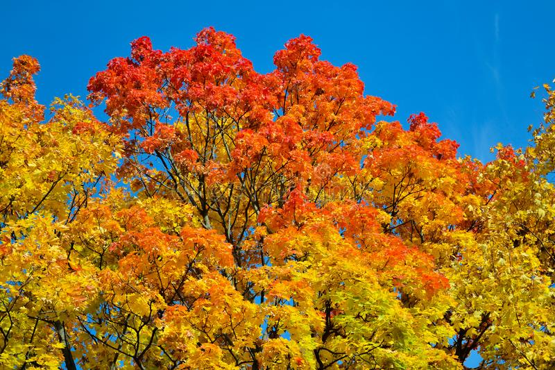 Beautiful autumn view. Maple red, yellow, green colors of leaves against a blue sky. Warm autumn day. royalty free stock images