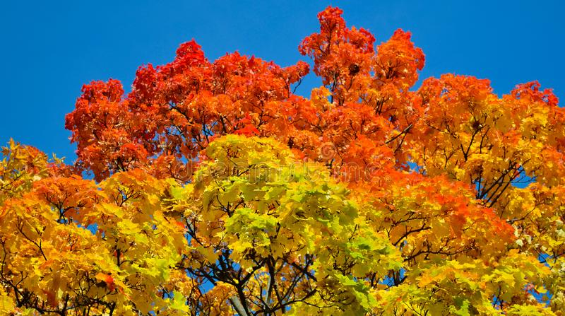 Beautiful autumn view. Maple red, yellow, green colors of leaves against a blue sky. Warm autumn day. stock image
