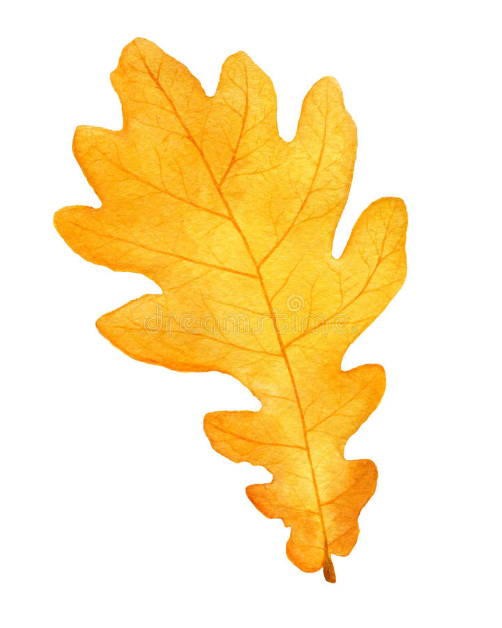 Beautiful autumn watercolor oak leaf on white background.fall illustration. royalty free stock photo