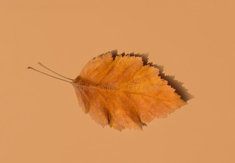 Beautiful Autumnal Background. Dry Orange yellow leaf with foggy edges on beige brown solid background. Thanksgiving. Beautiful Autumnal Background. Dry Orange royalty free stock photo