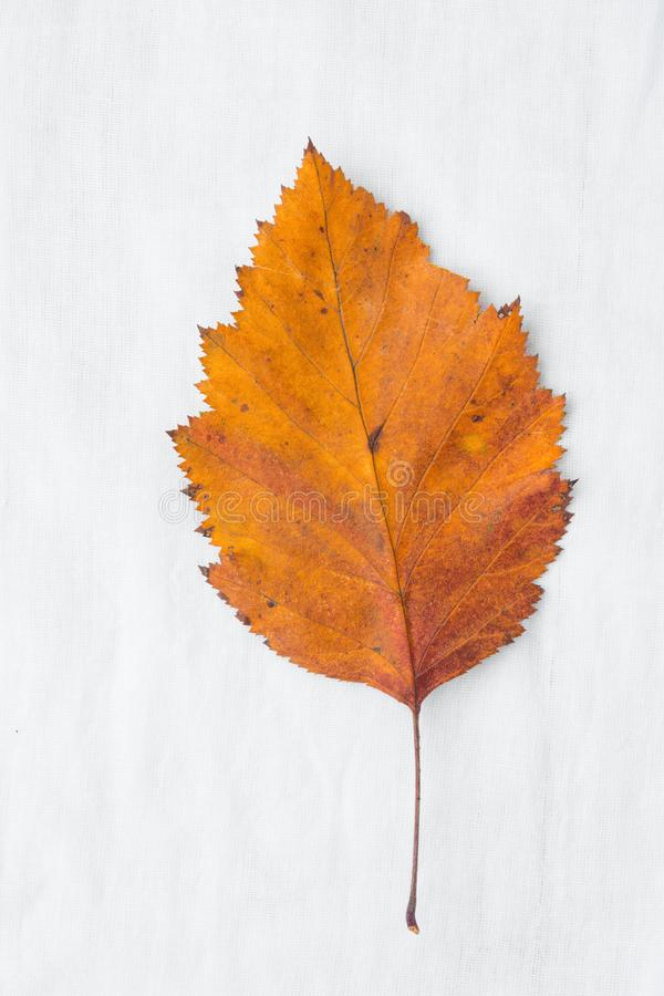 Beautiful Autumnal Background. Dry Orange yellow leaf on white cotton linen fabric. Back to School Thanksgiving Concept royalty free stock photos