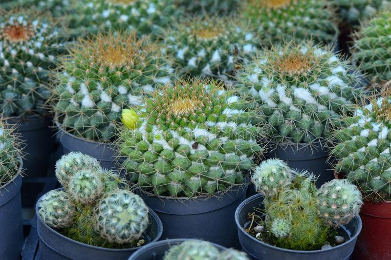 Beautiful baby oval cactus in flowerpots put together on a farming house for interior decoration. Background, plant, design, color, desert, landscape, nature royalty free stock images