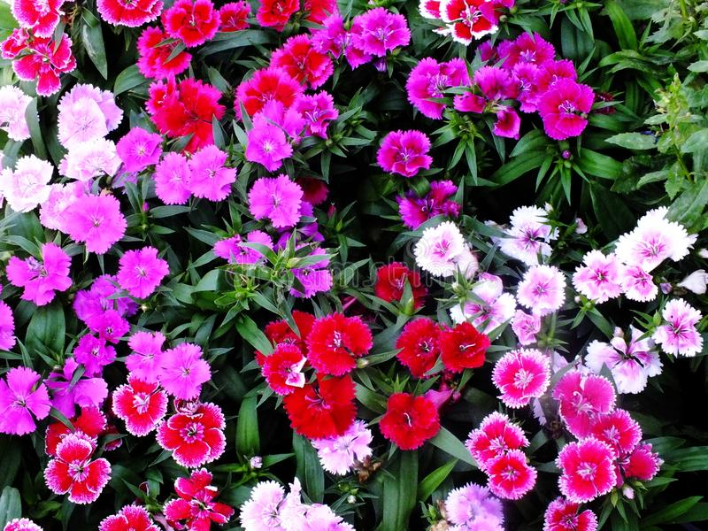 Beautiful background of blooming pink dianthus flowers garden. Nature background royalty free stock photo