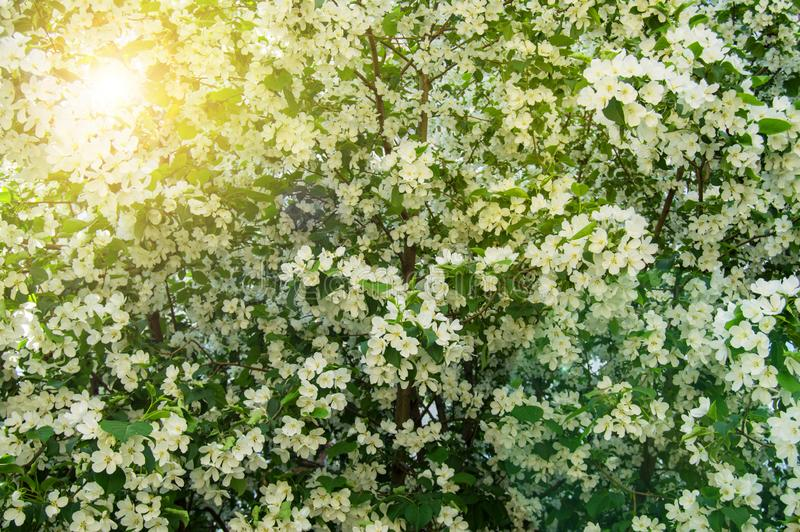 Beautiful background of blossoming Apple tree in spring garden. Selective focus sunlight and glare. Floral wood texture nature leaves sky flower closeup green royalty free stock images