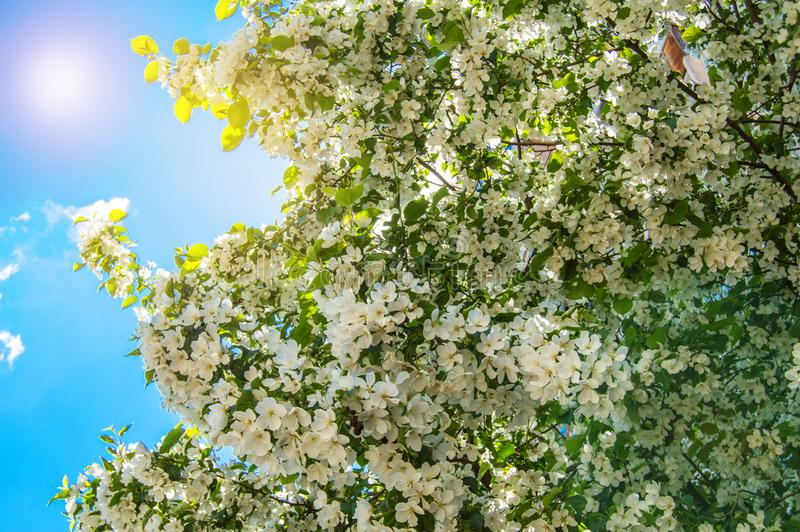 Beautiful background of blossoming Apple tree in spring garden. Selective focus sunlight and glare. Floral wood texture nature leaves sky flower closeup green royalty free stock photo
