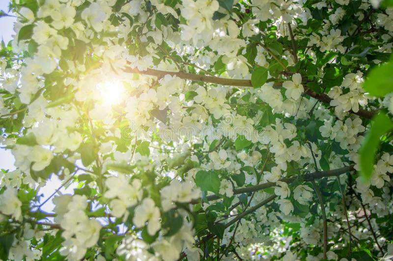Beautiful background of blossoming Apple tree in spring garden. Selective focus sunlight and glare. Floral wood texture nature leaves sky flower closeup green stock photography