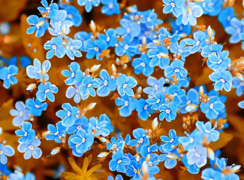 background of blue delicate flowers of forget-me-nots in a meadow in summer stock photos