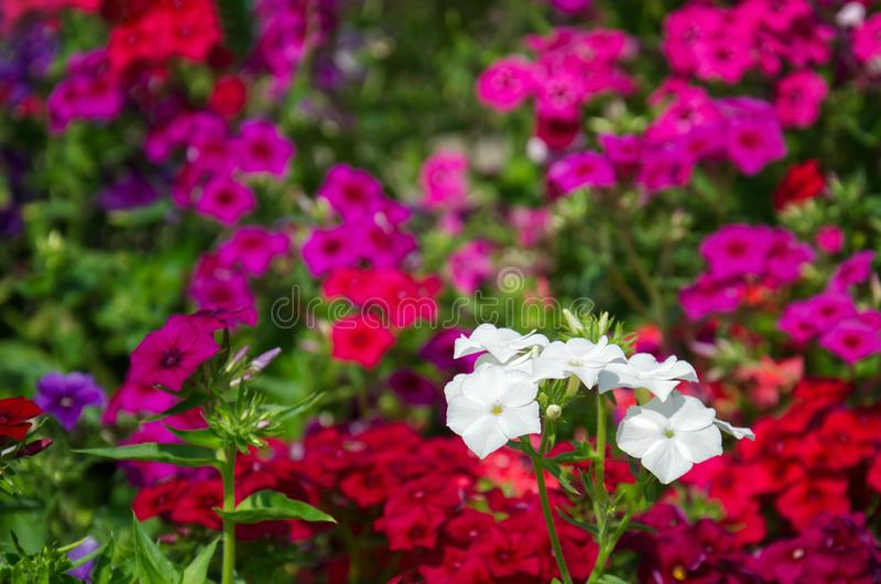 Bright bushes of pink, red and purple phloxes flowers. Beautiful background of bright bushes of pink, red and purple phloxes flowers royalty free stock photos