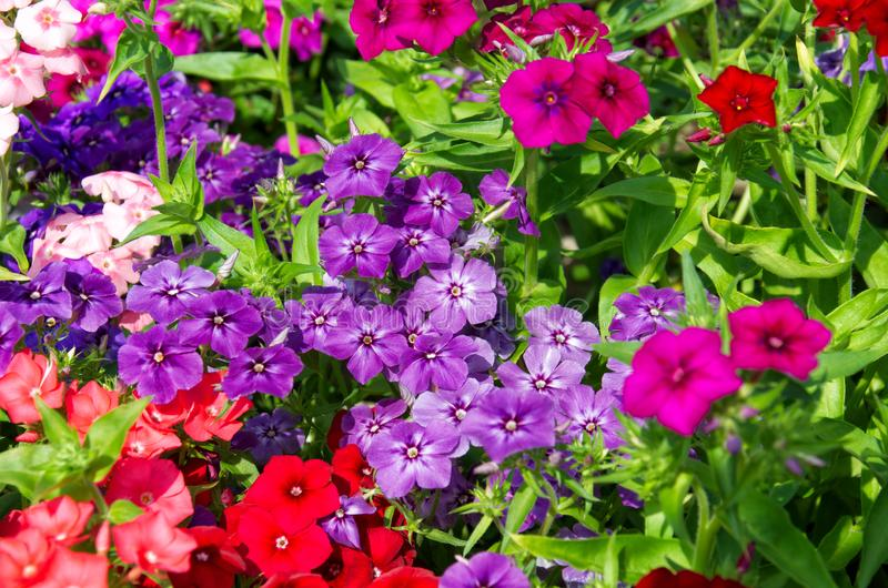 Bright bushes of pink, red and purple phloxes flowers. Beautiful background of bright bushes of pink, red and purple phloxes flowers royalty free stock image