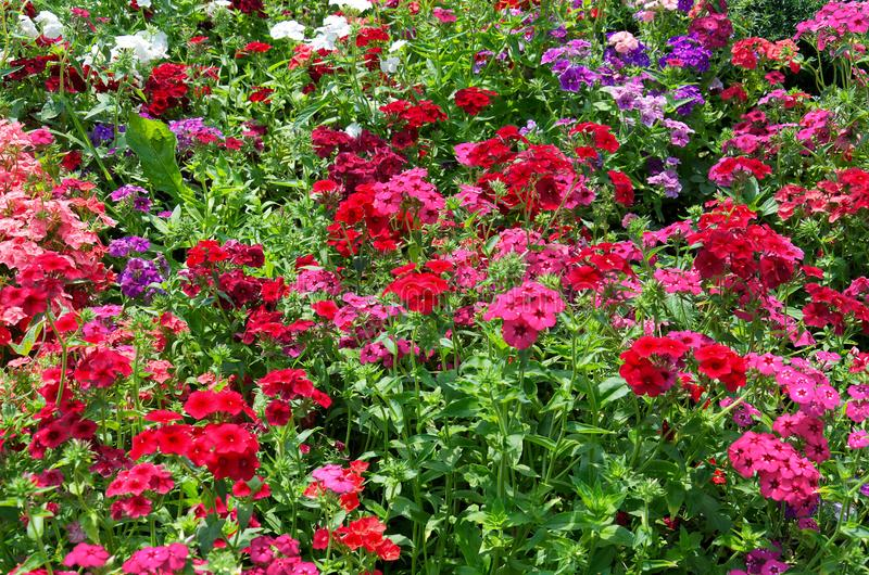 Background of bright bushes of pink, red and purple phloxes flowers. Beautiful background of bright bushes of pink, red and purple phloxes flowers stock photography