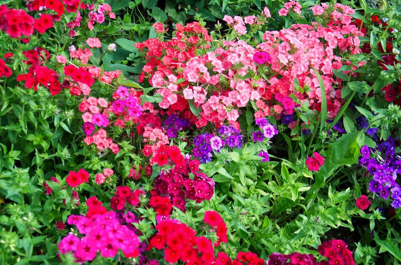 Background of bright bushes of pink, red and purple phloxes flowers. Beautiful background of bright bushes of pink, red and purple phloxes flowers stock photos