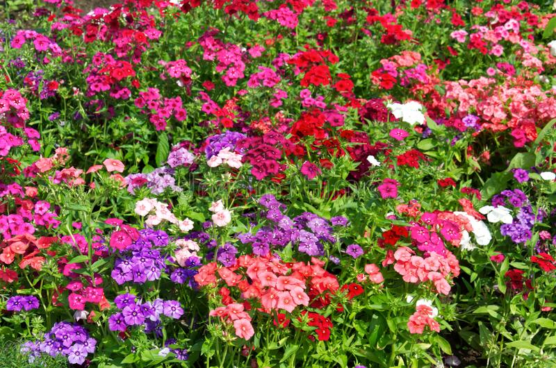 Background of bright bushes of pink, red and purple phloxes flowers. Beautiful background of bright bushes of pink, red and purple phloxes flowers royalty free stock photos