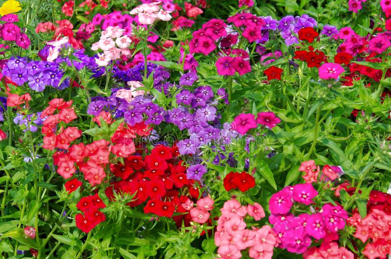 Background of bright bushes of pink, red and purple phloxes flowers. Beautiful background of bright bushes of pink, red and purple phloxes flowers royalty free stock images