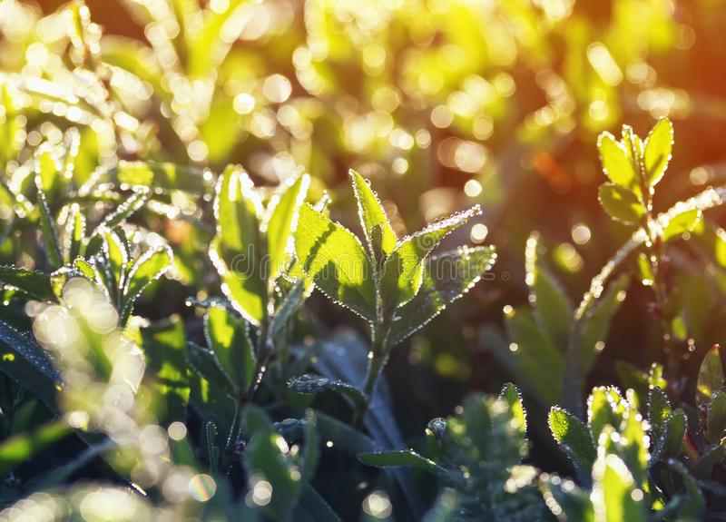 beautiful background of bright lush green grass covered with shiny drops of morning dew in the sun stock images