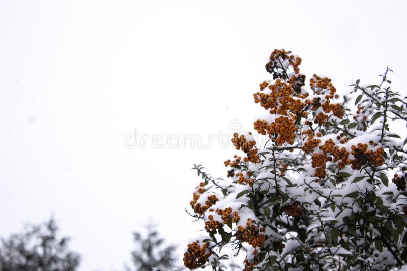 Beautiful background Christmas background with holly red berries Christmas floral background Branches on a white snow Background stock photos