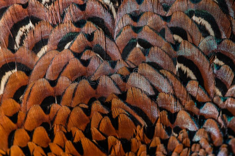 Beautiful background consisting of the feather Ringecked pheasant male. Abstract texture stock image