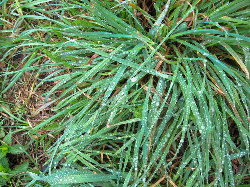 Dew drops on green grass. Beautiful background of dew drops on green grass stock images