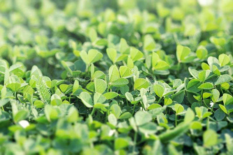 Beautiful background with green clover leaves, clover in meadow royalty free stock photography