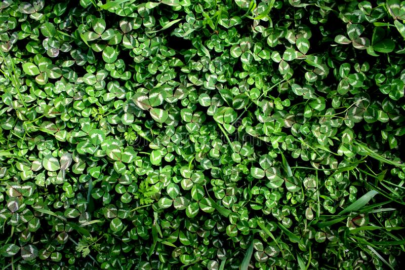 Beautiful background with green clover leaves for Saint Patrick`s day royalty free stock image