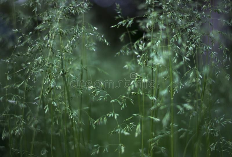 Beautiful background, green grass and panicle of spikelets.  stock photo