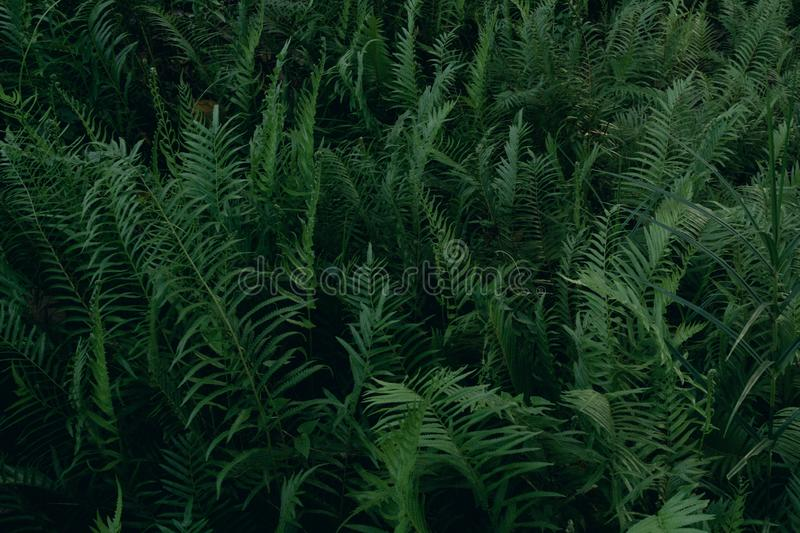 Beautiful background made with young green fern leaves in jungle.nature and environment concept. Abstractbackgroundbeautifulbotanybranchbushcloseupcolordarkdark royalty free stock photo