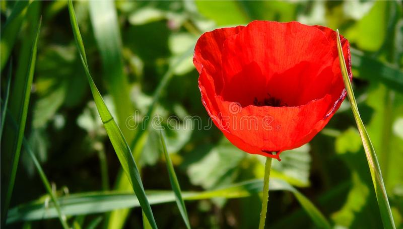 Wallpaper with closeup of red poppy flower on green meadow background royalty free stock images