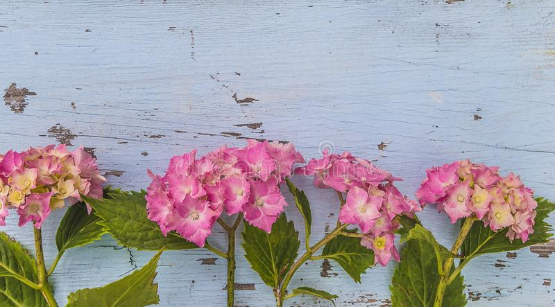 Beautiful background with purple hydrangea flowers on the old paint blue wooden background stock image