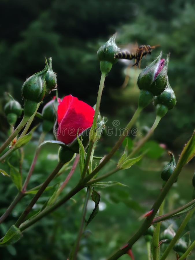 Beautiful Background with Red Rose royalty free stock images
