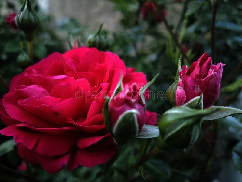 Beautiful Background with Red Rose royalty free stock photos