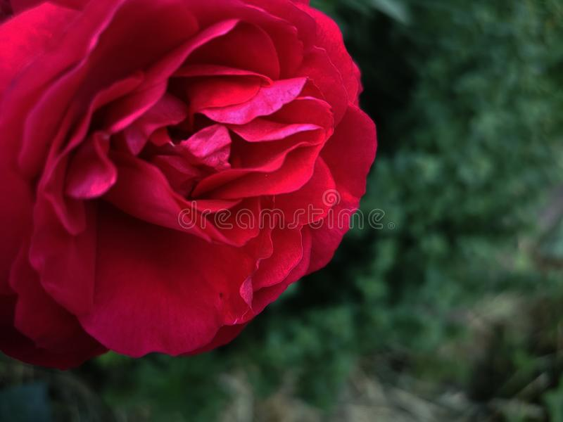 Beautiful Background with Red Rose stock image