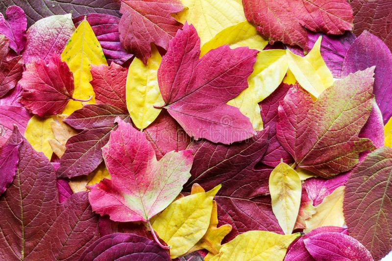 Beautiful background of various bright autumn red, pink and yellow leaves royalty free stock photo