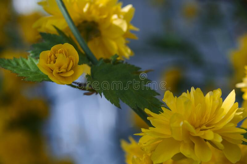 Beautiful background with yellow flowers on a bush.  stock photos