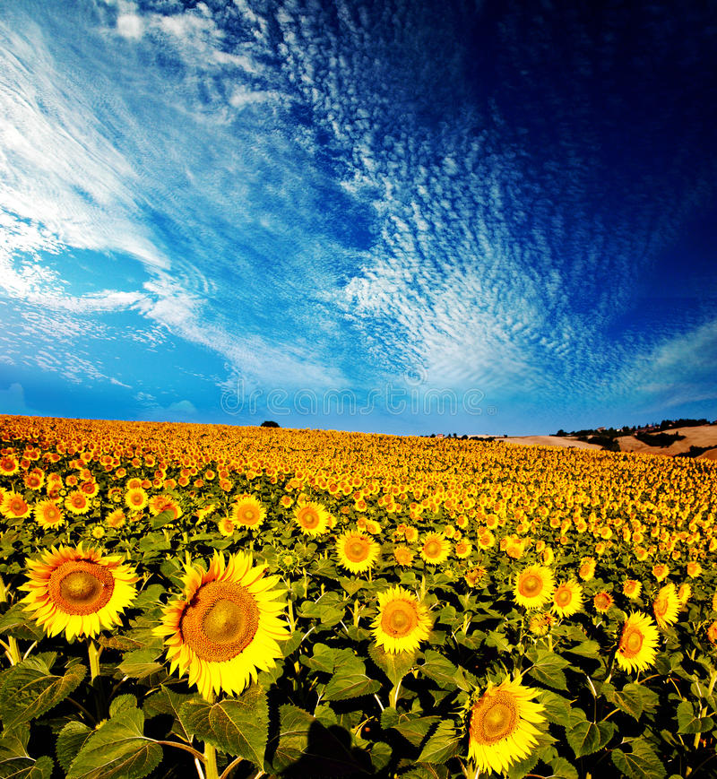 Beautiful backlit sunflowers, morning light stock photo