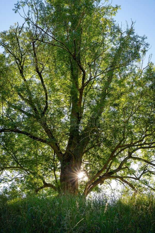 Beautiful backlit tree in spring royalty free stock photography