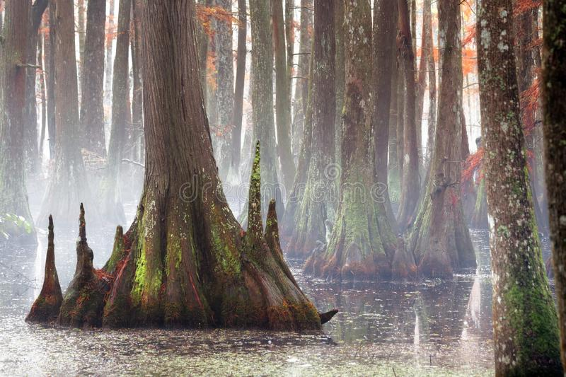 Beautiful bald cypress trees in autumn rusty-colored foliage, their reflections in lake water. Chicot State Park, Louisiana, US royalty free stock photography