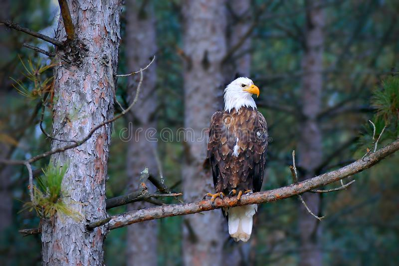 Beautiful bald eagle perched on a Norway Pine tree branch royalty free stock images