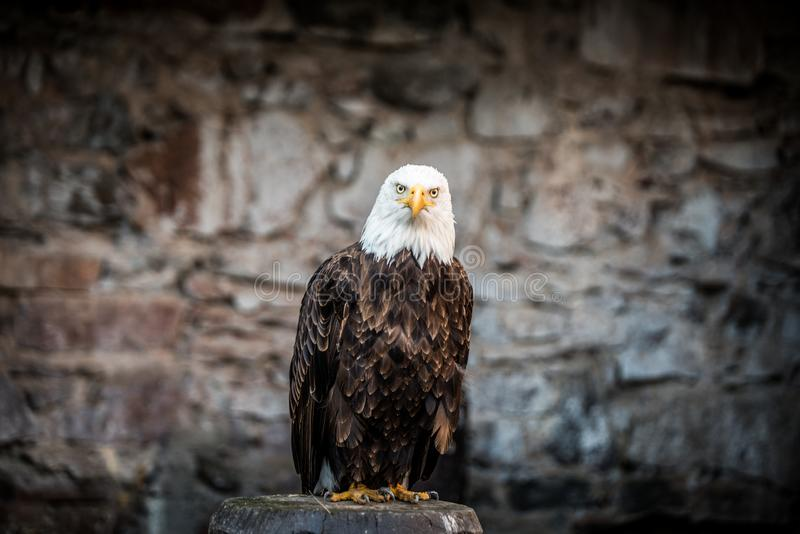 Beautiful bald eagle (lat. haliaeetus leucocephalus) - beautiful wildlife royalty free stock photography