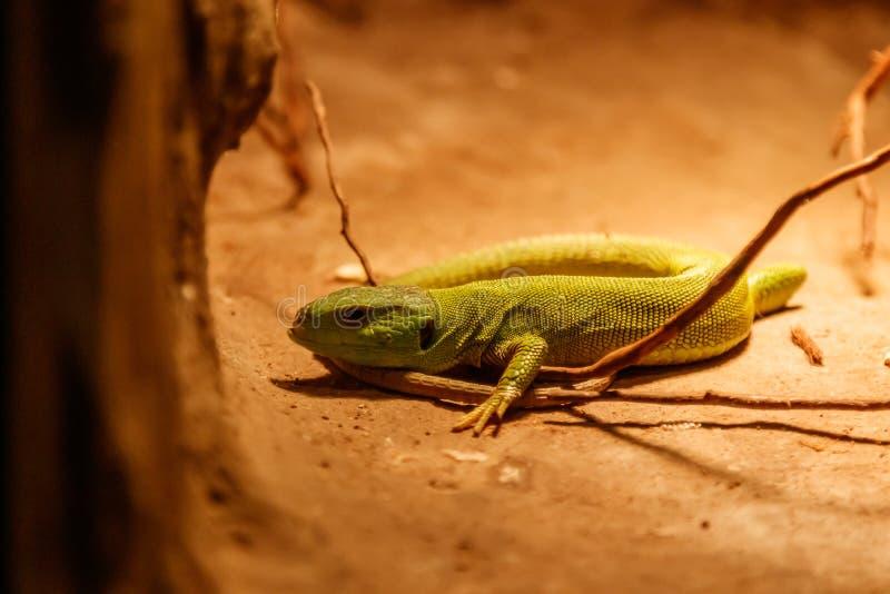 Beautiful Balkan Green Lizard - Lacerta trilineata. Close up royalty free stock photo