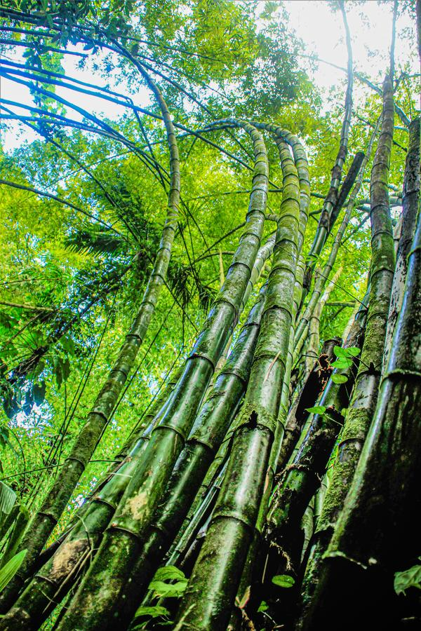 Bamboo in the West Indies royalty free stock image