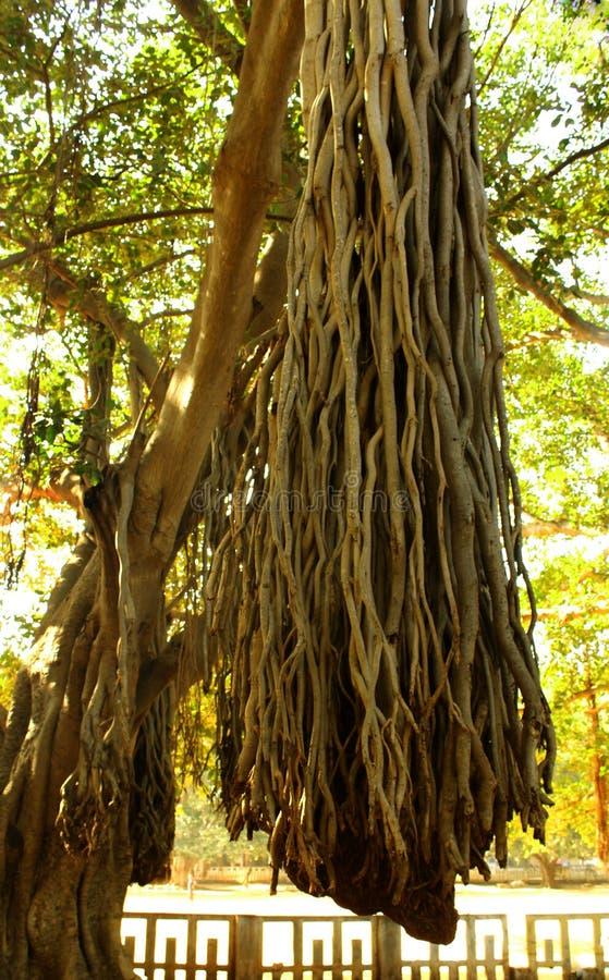 Beautiful banyan tree root bunch stock photo