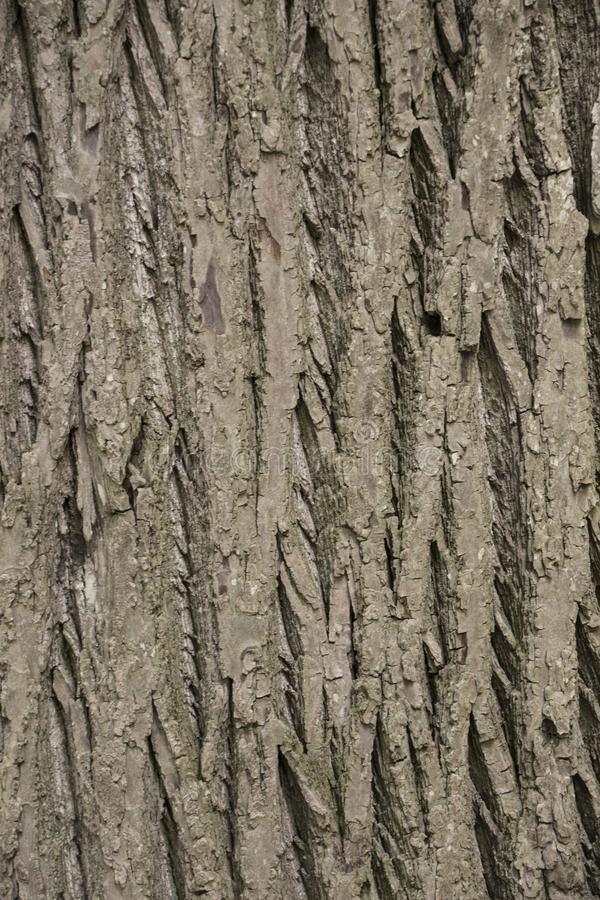 The beautiful bark of tree with crinkles and green moss. The beautiful bark of tree with deep crinkles and green moss royalty free stock images