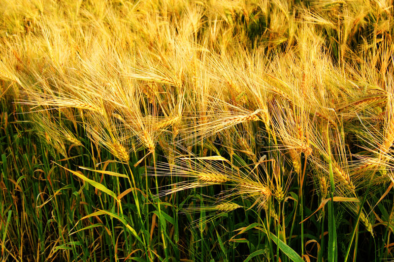 Download Beautiful Barley Cereal Field Stock Photography - Image: 26343562