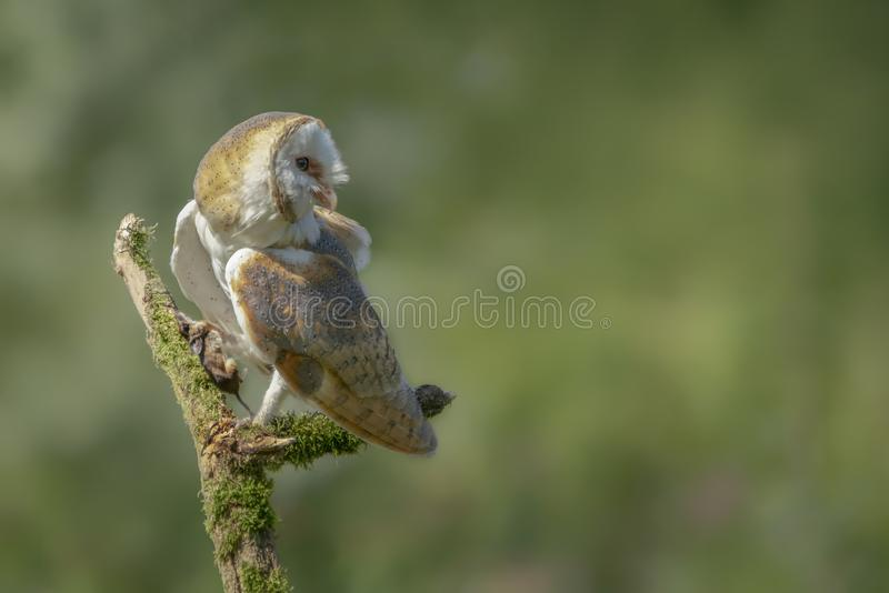 Beautiful Barn owl Tyto alba with a prey on a branch. Blurry green Bokeh background. Noord Brabant in the Netherlands. Writing s. Pace stock image