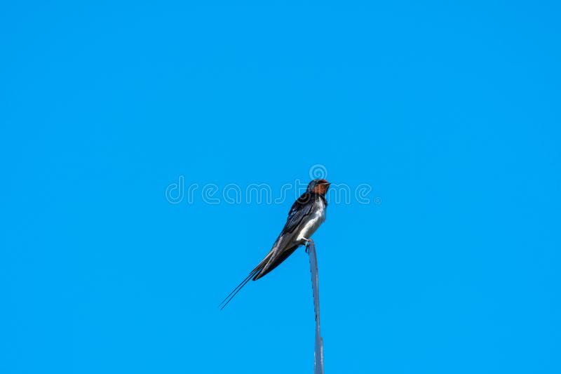 Barn Swallow on a weather vane. Beautiful barn swallow sitting on the top of a weather vane stock photos