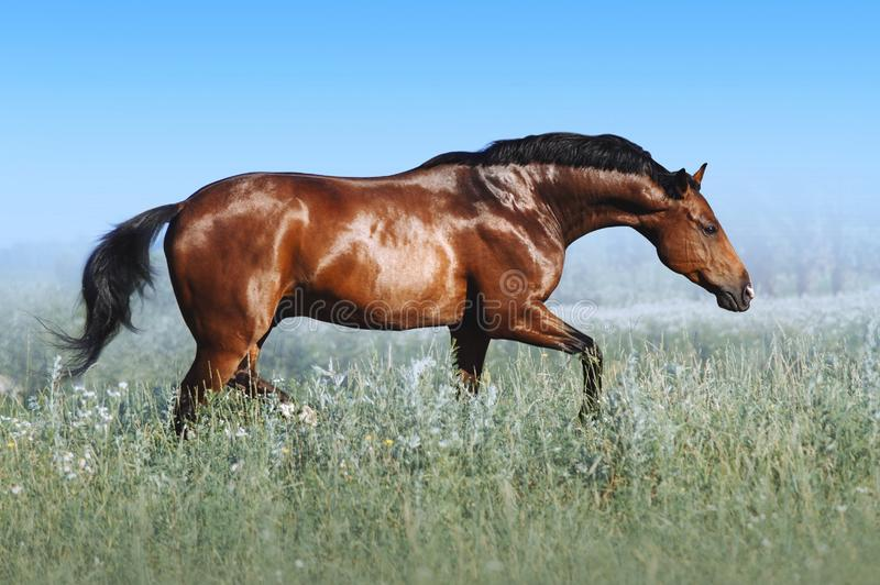 A beautiful bay horse jumps in a field against a blue sky. The exercise of a sports horse. Stallion runs free stock image