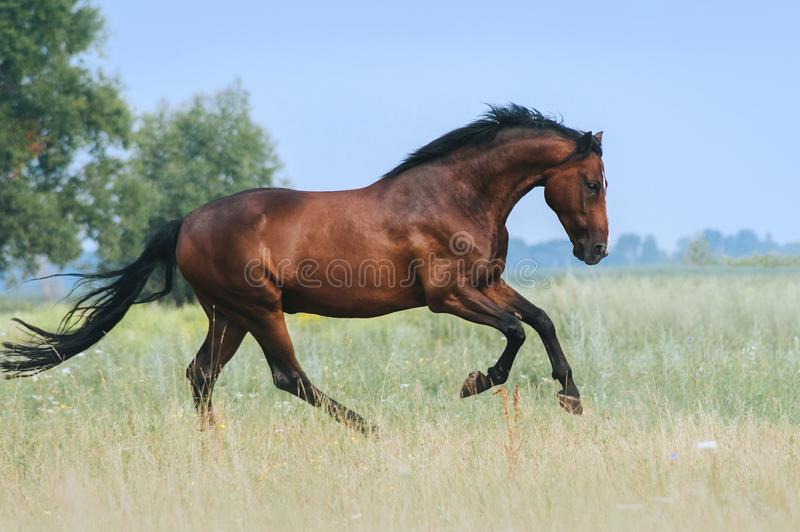 A beautiful bay horse jumps in a field against a blue sky. The exercise of a sports horse. Stallion runs free stock photo