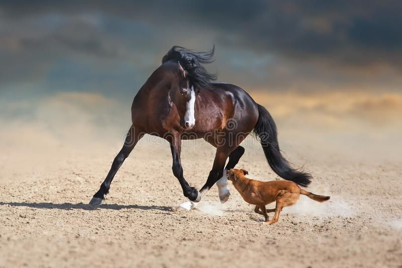 Beautiful bay horse play with dog royalty free stock photography